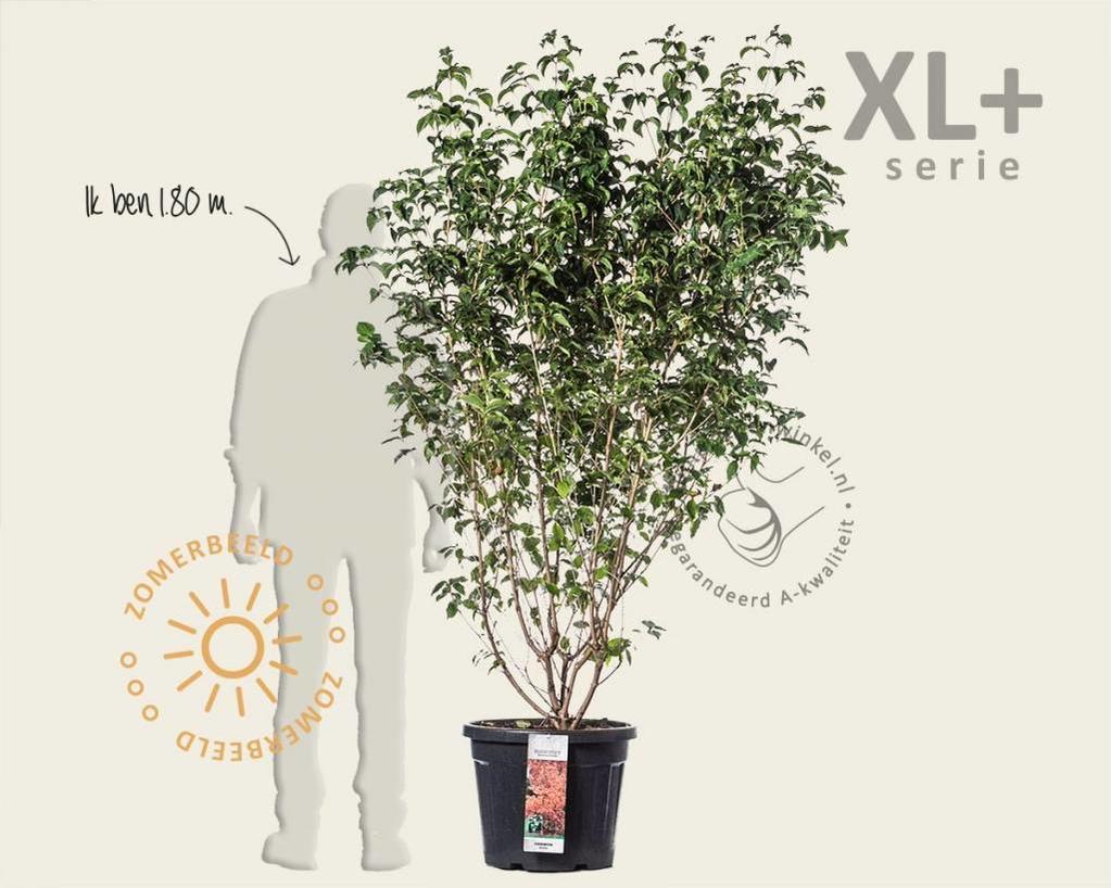 Cornus kousa - XL+