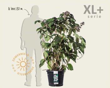 Hydrangea aspera 'Macrophylla' - XL+