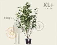 Magnolia 'Heaven Scent' - XL+