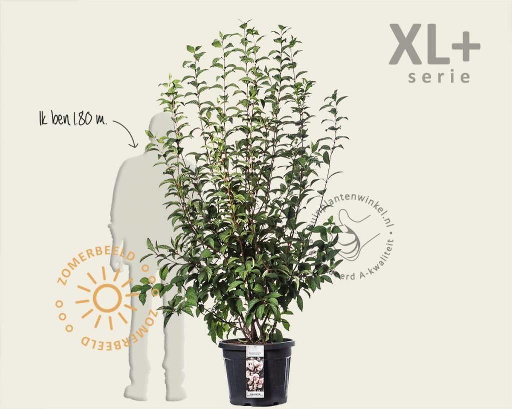 Viburnum bodnantense 'Charles Lamont' - XL+