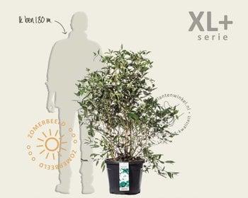Viburnum plicatum 'Watanabe' - XL+