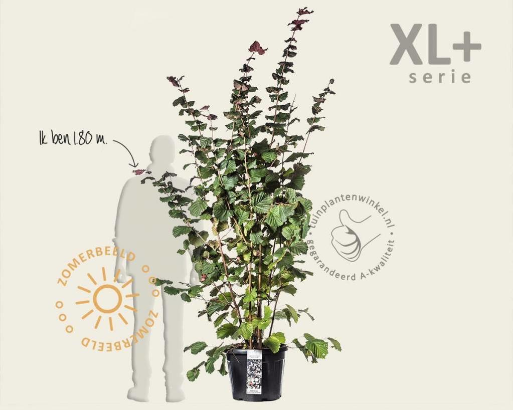 Corylus avellana 'Rode Zellernoot' - XL+