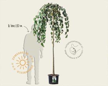 Cercidiphyllum japonicum 'Pendulum' -  op stam