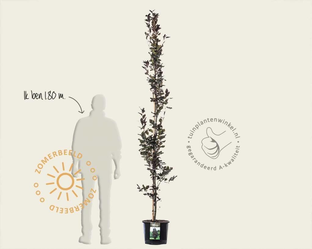 Fagus sylvatica 'Dawyck Purple' 175/200 - beveerd