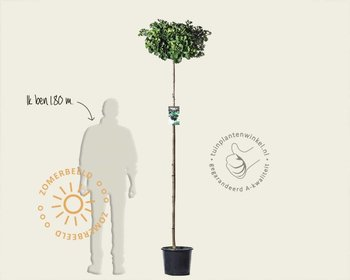 Ginkgo biloba 'Mariken' - 200 cm stam