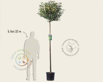 Prunus lusitanica 'Angustifolia' - 180 cm stam