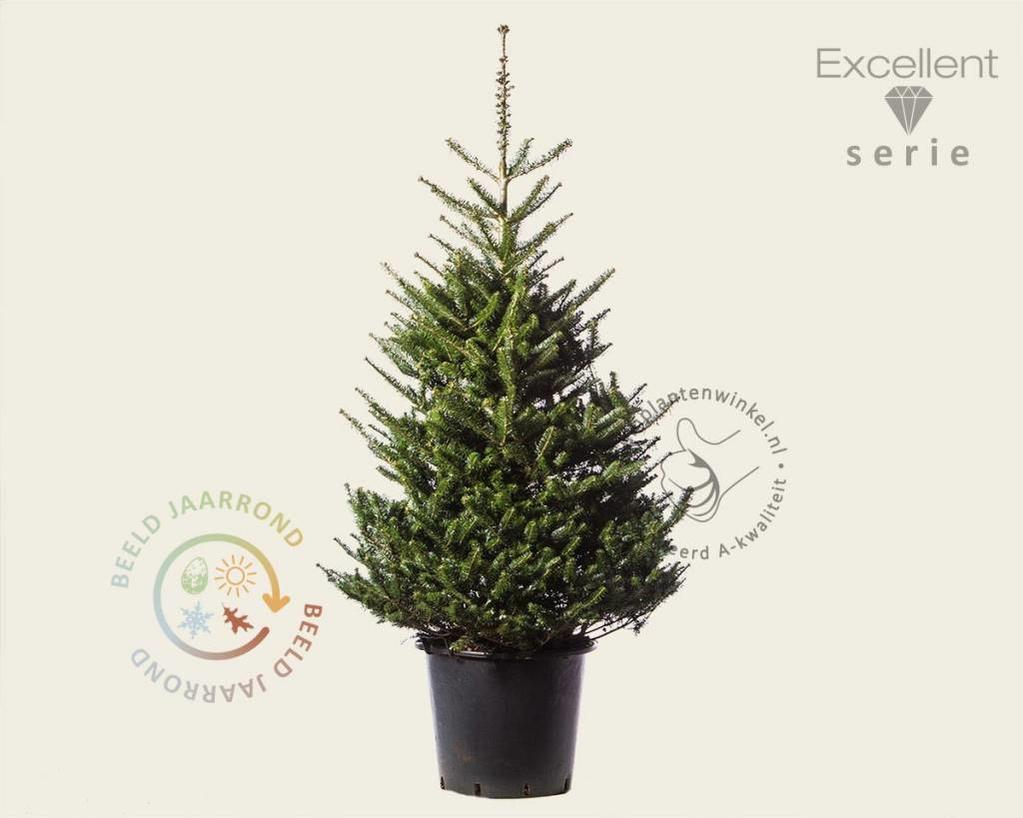 Abies koreana 125/150 - Excellent
