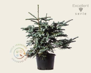 Abies procera 'Glauca' 080/100 - Excellent