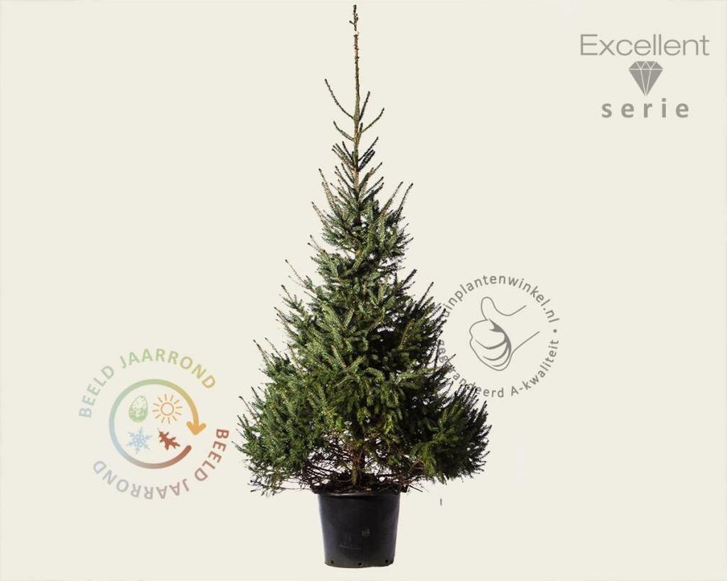 Picea omorika 175/200 - Excellent