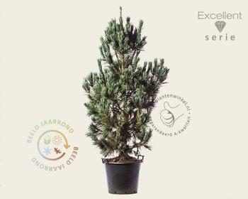Pinus flexilis 'Vanderwolf's Pyramid' 150/175 - Excellent