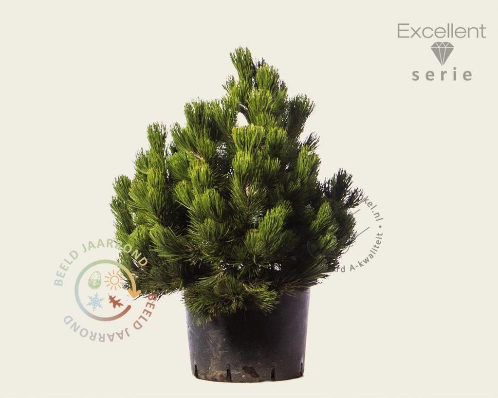 Pinus heldreichii 'Compact Gem' 060/080 - Excellent