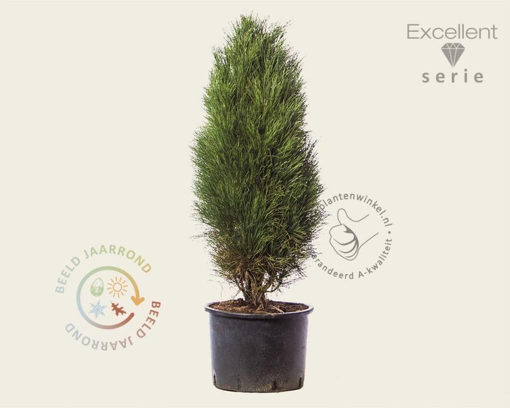 Pinus nigra 'Green Tower' 100/125 - Excellent