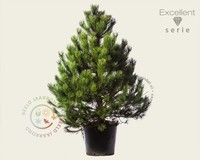 Pinus nigra subsp. nigra 125/150 - Excellent