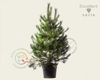 Pinus nigra subsp. nigra 175/200 - Excellent