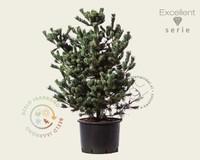 Pinus parviflora 'Negishi' 080/100 - Excellent