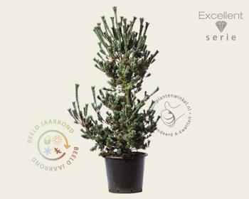 Pinus parviflora 'Ryu-ju' 125/150 - Excellent