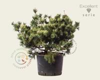 Pinus pumila 'Dwarf Blue' 080/100 - Excellent