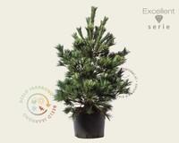 Pinus strobus 'Macopin' 080/100 - Excellent