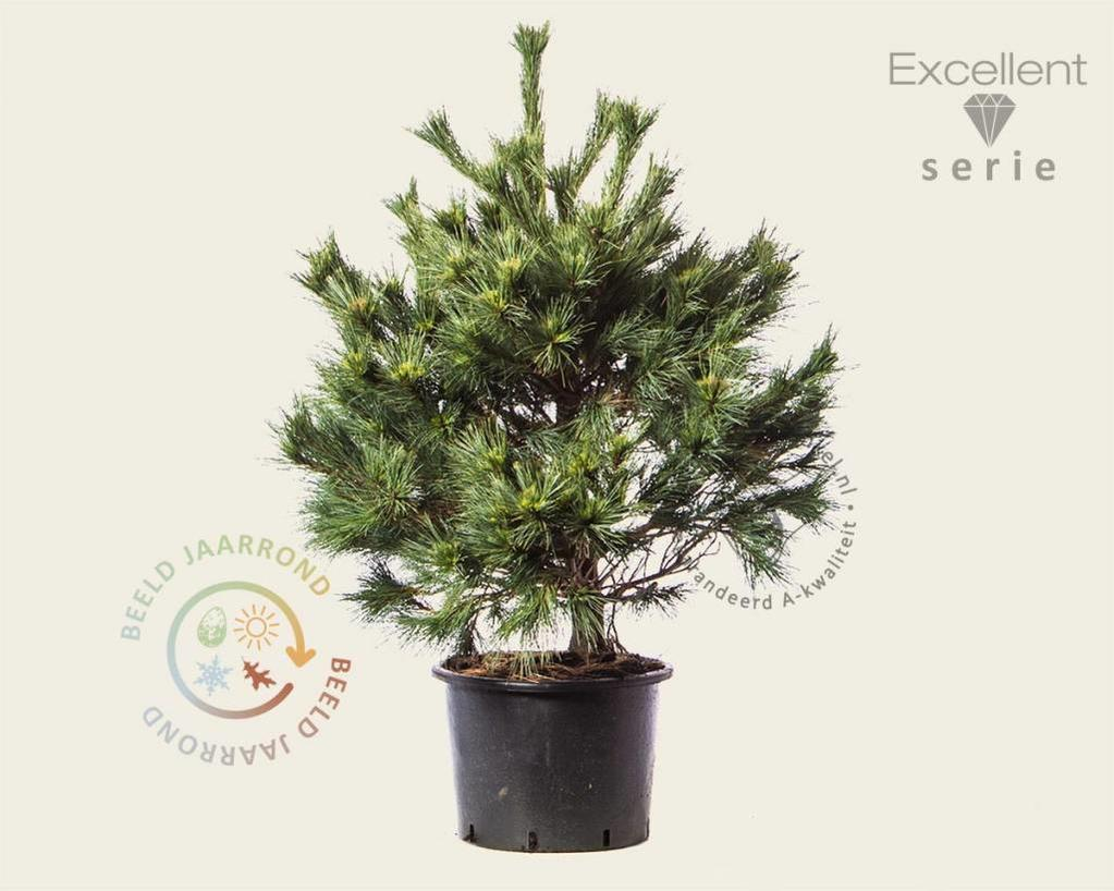 Pinus strobus 'Radiata' 080/100 - Excellent