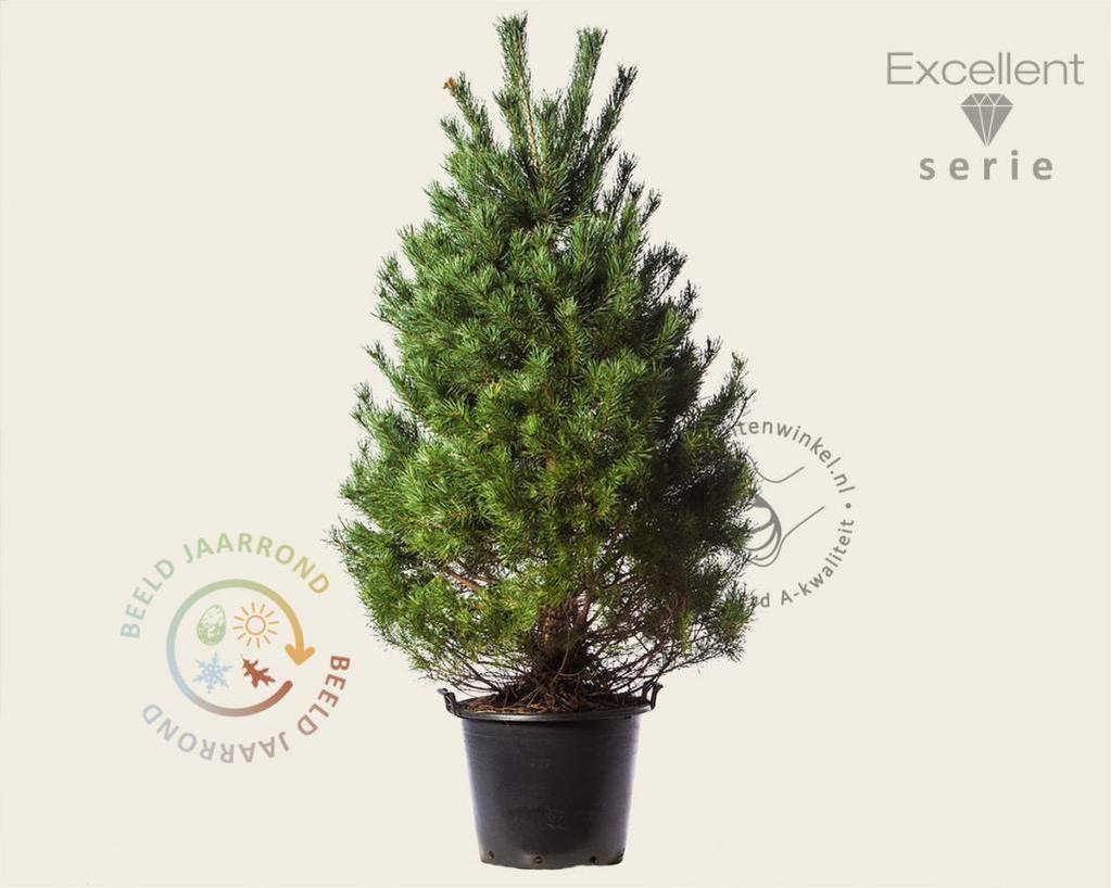 Pinus sylvestris 175/200 - Excellent