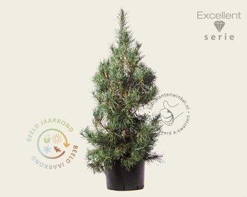 Pinus sylvestris 'Glauca' 125/150 - Excellent