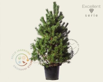 Pinus sylvestris 'Norska' 150/175 - Excellent