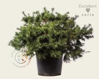 Pinus sylvestris 'Repens' 060/80 - Excellent