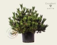 Pinus thunbergii 'Maijima' 080/100 - Excellent