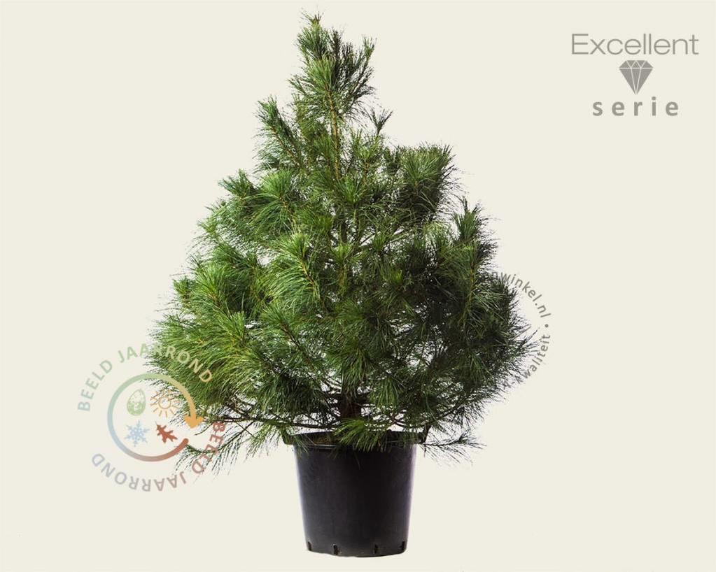 Pinus wallichiana 125/150 - Excellent
