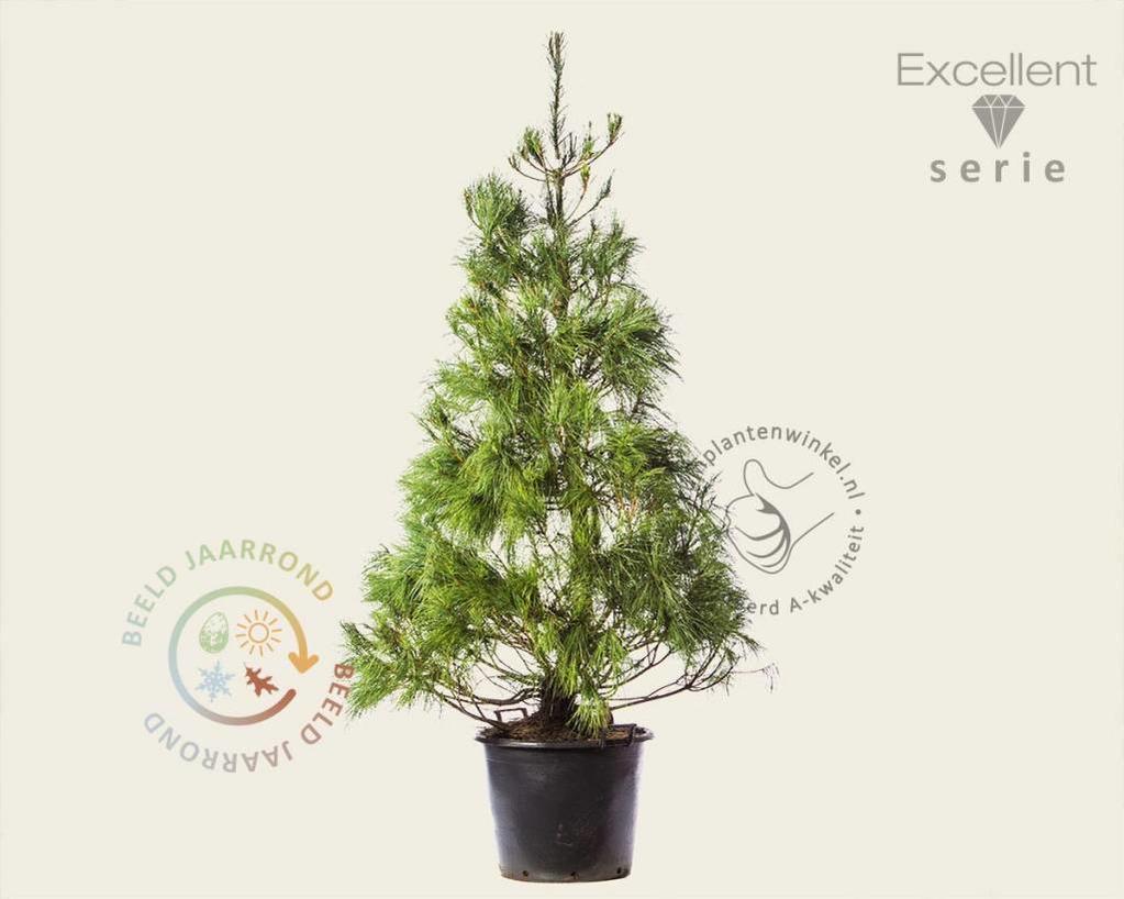 Pinus wallichiana 175/200 - Excellent