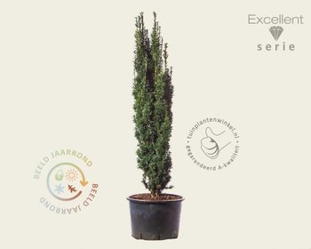 Taxus baccata 'Robusta' - Excellent