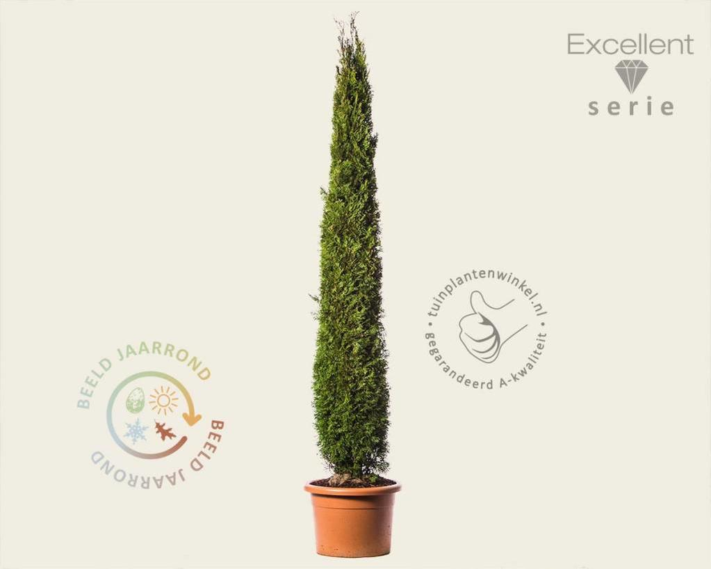 Thuja occidentalis 'Smaragd' 200/225 - Excellent
