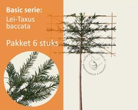 Lei-Taxus - Basic - pakket 6 stuks + EXTRA'S!