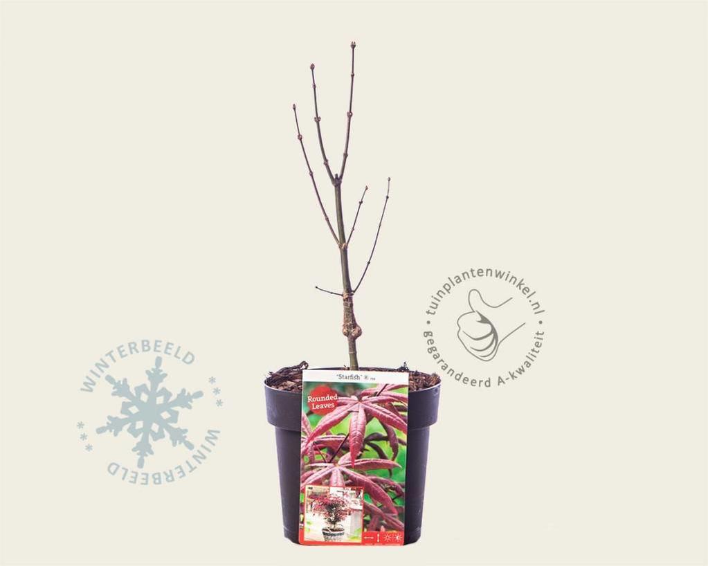 Acer palmatum 'Starfish'