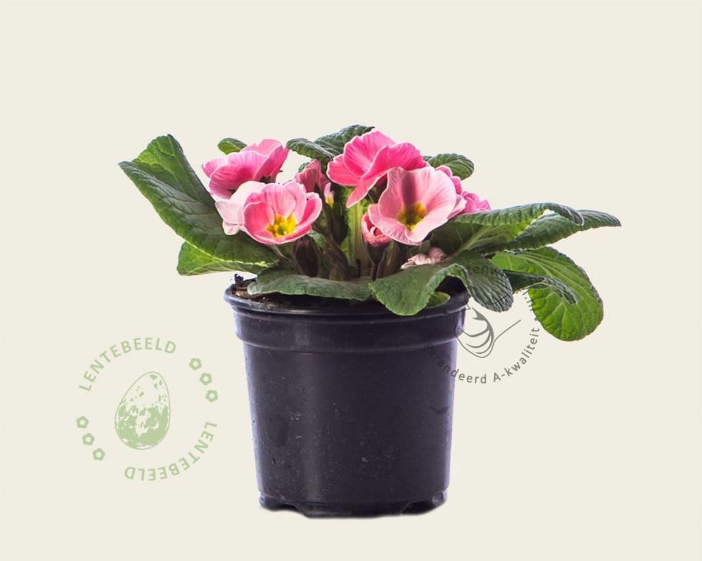 Primula acaulis 'Roze met geel oog'