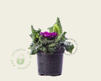 Primula acaulis 'Dubbelbloemig paars'