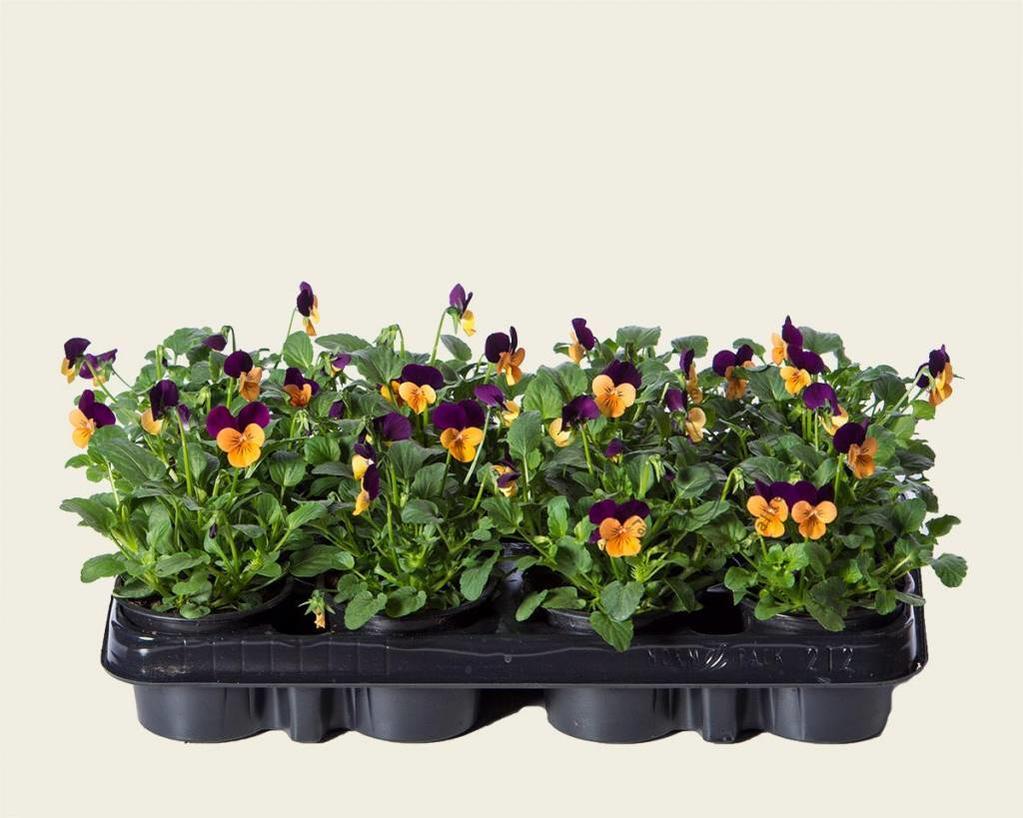 Viool Mini 'Callisto Oranje-paarse Vlag' - Tray 12 st.