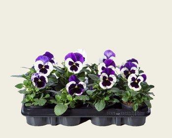 Viool Grootbloemig 'Delta Violet-wit' - Tray 12 st.