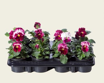 Viool Grootbloemig 'Delta Strawberry Cream' - Tray 12 st.