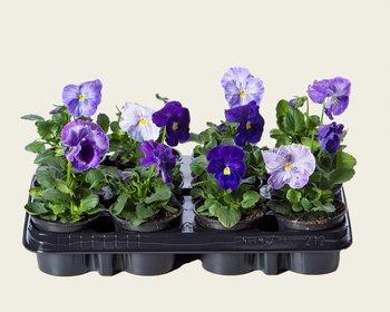 Viool Grootbloemig 'Matrix Lavender Shades' - Tray 12 st.