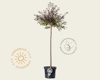 Prunus incisa 'Kojou-no-mai' - 60 cm stam