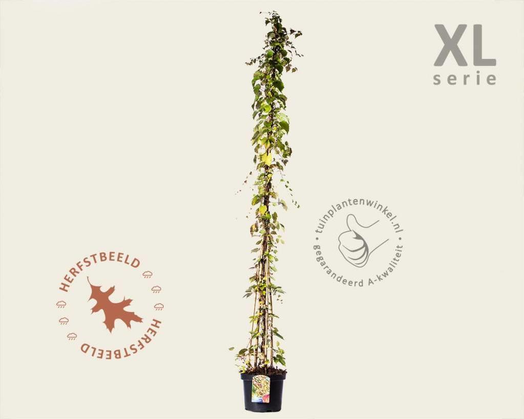 Parthenocissus tricuspidata 'Veitchii' - XL