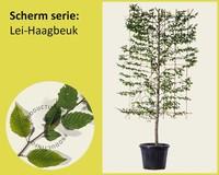 Lei-Haagbeuk - Scherm