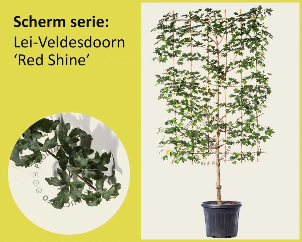Lei-Veldesdoorn 'Red Shine' - Scherm