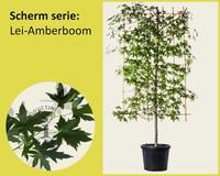 Lei-Amberboom - Scherm