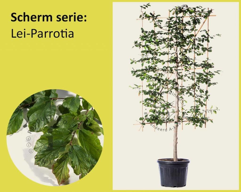 Lei-Parrotia - Scherm