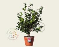 Camellia japonica 'Black Lace'