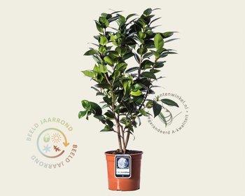 Camellia japonica 'Cream Puff'