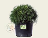 Pinus mugo 'Varella' 035/+
