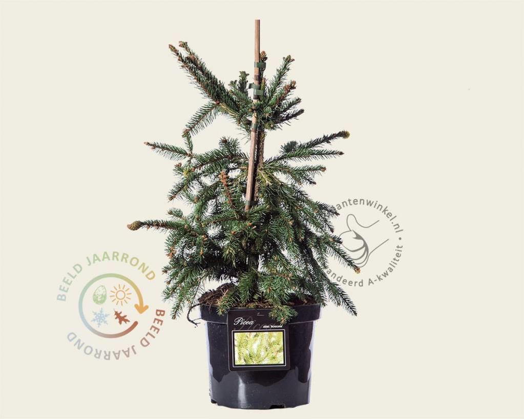 Picea abies 'Acrocona' - 040/050
